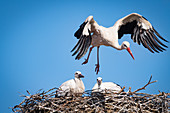 Storks, old stork with 2 young storks in the nest, Haus Avalon, pit, Ostholstein, Schleswig-Holstein, Germany