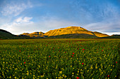 Italy, Umbria, Sibillini National Park, Blooming on plateau Piano Grande
