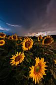 Sonnenblumen beim Gewitter, Dairago, Mailand, Lombardei, Italien, Südeuropa
