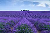 Lonely trees in a lavender field near Valensole at sunrise, Alpes-de-Haute-Provence, Provence-Alpes-Côte d'Azur, France.