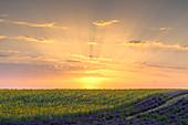 Sunset in a lavender and sunflower field , Valensole, Alpes-de-Haute-Provence, Provence-Alpes-Côte d'Azur, France.
