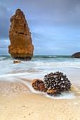 Mussels on sandy beach framed by waves of the rough sea Praia da Marinha Caramujeira Lagoa Municipality Algarve Portugal Europe