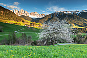 a spring sunset of the famous cherry tree in Villnöss with the Geisler in the backgroud, Bolzano province, South Tyrol, Trentino Alto Adige, Italy