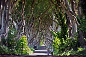 United Kingdom, Northern Ireland, County Antrim, Ballymoney, the Dark Hedges a striking avenue of arched beech trees near Armoy, in the world of Westeros, this moody trail becomes the treacherous King's Road, where Arya disguised herself as a boy to avoid capture on the road to Winterfell