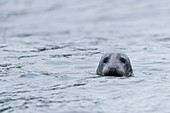 United Kingdom, Northumberland, Seahouse, Farne island, Head of a grey seal (Halichoerus grypus) emerging from the water