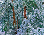 Ponderosa-Kiefern (Pinus ponderosa), Bäume im Winter, Grand Canyon-Nationalpark, Arizona, USA