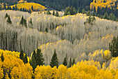 Pappel (Populus sp) Bäume im Herbst, Rocky Mountains, Colorado, USA