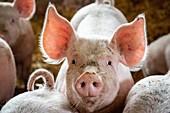 FREE-RANGE PIG FARM, LES LYRE ORGANIC FARM, LA VIEILLE-LYRE, FRANCE