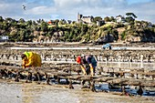 GATHERING IN THE OYSTER BAGS, OYSTER BEDS, POINTE DU HOCK, CANCALE, ILLE-ET-VILAINE (35), FRANCE