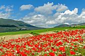Blooming poppy field, Castelluccio, Sibillini Mountains, Monti Sibillini, Monti Sibillini National Park, Parco nazionale dei Monti Sibillini, Apennines, Marche, Umbria, Italy