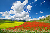 Blooming poppy and rapeseed field, Castelluccio, Sibillini Mountains, Monti Sibillini, Monti Sibillini National Park, Parco nazionale dei Monti Sibillini, Apennines, Marche, Umbria, Italy
