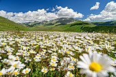 Blooming daisies with Sibillini Mountains in the background, Monti Sibillini, Monti Sibillini National Park, Parco nazionale dei Monti Sibillini, Apennines, Marche, Umbria, Italy