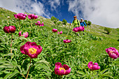 Man and woman hiking through meadow with blooming peonies, Campo Imperatore, Gran Sasso National Park, Parco nazionale Gran Sasso, Apennines, Abruzzo, Italy