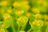 Blooming Spurge, Euphorbia, Gran Sasso, Gran Sasso National Park, Parco nazionale Gran Sasso, Apennines, Abruzzo, Italy
