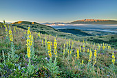 Blooming mullein with Monte Sirente in the background, Gran Sasso National Park, Parco nazionale Gran Sasso, Apennines, Abruzzo, Italy