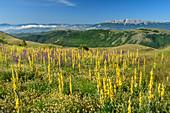 Blühende Königskerzen mit Monte Sirente im Hintergrund, Nationalpark Gran Sasso, Parco nazionale Gran Sasso, Apennin, Abruzzen, Italien