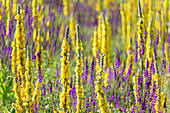 Blooming mullein and wild sage, Gran Sasso National Park, Parco nazionale Gran Sasso, Apennines, Abruzzo, Italy