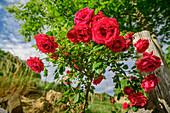 Red blooming rose bush, Grande Anello dei Sibillini, Sibillini Mountains, Monti Sibillini, National Park Monti Sibillini, Parco nazionale dei Monti Sibillini, Apennines, Marche, Umbria, Italy
