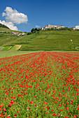 Blühendes Mohnfeld mit Castelluccio im Hintergrund, Castelluccio, Sibillinische Berge, Monti Sibillini, Nationalpark Monti Sibillini, Parco nazionale dei Monti Sibillini, Apennin, Marken, Umbrien, Italien