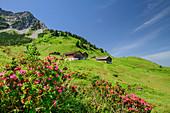 Blooming alpine roses with Alpe Steris in the background, Großes Walsertal Biosphere Reserve, Lechquellen Mountains, Vorarlberg, Austria