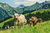 Cows on alpine pasture, Alpe Steris, Großes Walsertal Biosphere Reserve, Lechquellen Mountains, Vorarlberg, Austria
