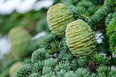 Young cones on Atlas cedar, Atlas cedar, Cedrus atlantica, Foret de Cedres, Luberon, Luberon Nature Park, Vaucluse, Provence-Alpes-Cote d'Azur, France