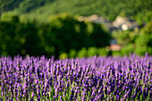 Blooming lavender field, Grand Luberon, Luberon Natural Park, Vaucluse, Provence-Alpes-Cote d'Azur, France