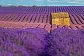 Blooming lavender field with house, Valensole, Verdon Nature Park, Alpes-de-Haute-Provence, Provence-Alpes-Cote d´Azur, France