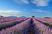 Blooming lavender field with Le Grand Marges in the background, Valensole, Verdon Nature Park, Alpes-de-Haute-Provence, Provence-Alpes-Cote d´Azur, France