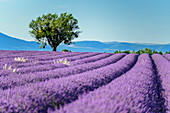Blooming lavender field with tree, Valensole, Verdon Nature Park, Alpes-de-Haute-Provence, Provence-Alpes-Cote d´Azur, France