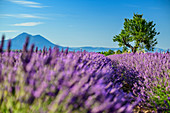 Blooming lavender field with tree and Le Grand Marges in the background, Valensole, Verdon Natural Park, Alpes-de-Haute-Provence, Provence-Alpes-Cote d'Azur, France