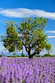 Holm oak in blooming lavender field, Valensole, Verdon Nature Park, Alpes-de-Haute-Provence, Provence-Alpes-Cote d'Azur, France