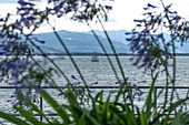 View of Lake Constance, in the foreground Agapanthus, Lindau, Bavaria, Germany, Europe