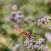 Dragonfly at the landing site, Bad Honnef / Rhein, Germany