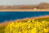 Rapeseed blossom with blue sea in the background, Weissenhäuser Strand, Baltic Sea, Ostholstein; Schleswig-Holstein