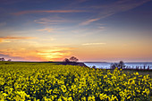Evening mood with rapeseed field and steep coast on the Baltic Sea, Weissenhäuser Strand, Eitz, Ostholstein, Schleswig-Holstein, Germany