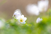 Wood anemone in the forest, Ostholstein, Schleswig-Holstein, Germany