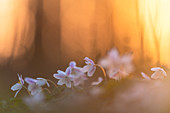 Wood anemone in the evening light, Ostholstein, Schleswig-Holstein, Germany
