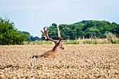 Fallow deer in motion in a wheat field, Georgshof, Ostholstein, Schleswig-Holstein, Germany