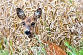 Female roe deer, Rikke, in the wheat field, Georgshof, East Holstein, Schleswig-Holstein, Germany