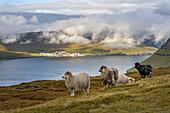 Schafe auf den grünen Weiden an den Hängen des Klakkur bei Klaksvík, Färöer Inseln