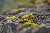 Detail of the late summer flora on the Faroe Islands.