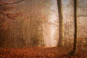 November mood in the beech forest, Baierbrunn, Germany