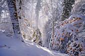 Winter im Buchenwald, Baierbrunn, Bayern, Deutschland