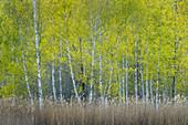 Frühlingsbirken im Weilheimer Moos, Wald bei Weilheim, Bayern, Deutschland
