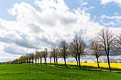 Avenue with winter linden trees in Ostholstein, Bürau, Neukirchen, Schleswig-Holstein, Germany