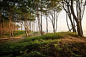Bäume am Weststrand, Fischland-Darß-Zingst, Nationalpark Vorpommersche Boddenlandschaft, Halbinsel in Mecklenburg-Vorpommern, Ostsee, Deutschland, Europa