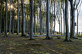 Autumn in the ghost forest on the German Baltic Sea coast, between Nienhagen and Heiligendamm, Germany, Europe.