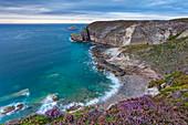 Heathland at Cap Frehel in the flowering season in summer. Brittany, France