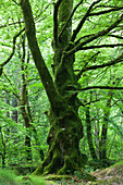 Old beech in the forest of Saint-Sauveur-le-Vicomte, 50390. Cotentin peninsula Normandy.